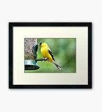 American Goldfinch Framed Print