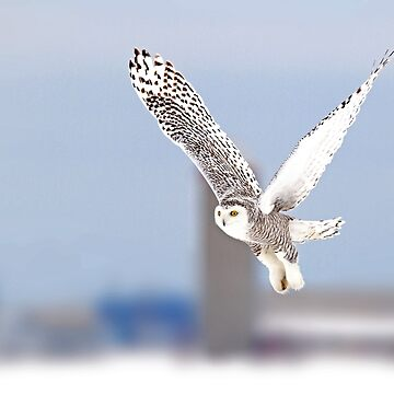 Along a country road - Snowy Owl by darby8