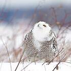 Keep watching the skies! Snowy Owl by Jim Cumming