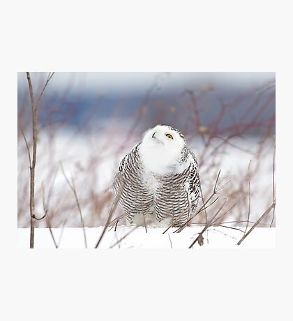 Keep watching the skies! Snowy Owl Photographic Print