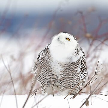 Keep watching the skies! Snowy Owl by darby8