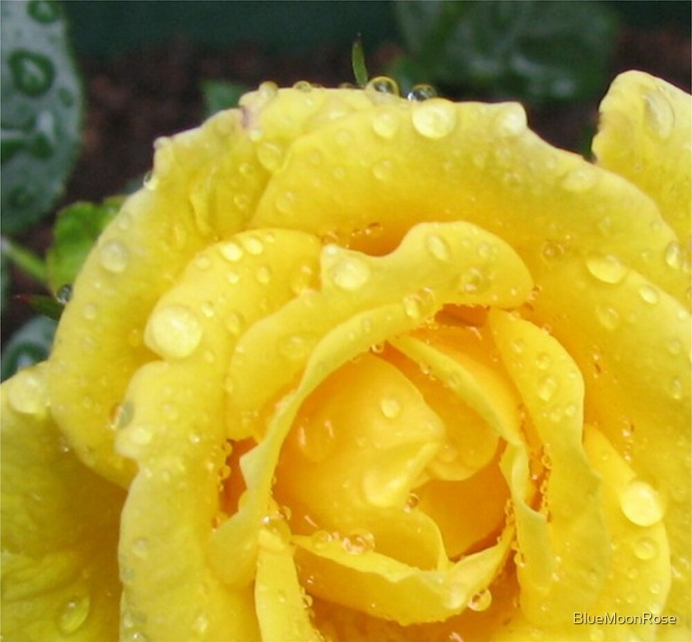Raindrops on Rose Petals by BlueMoonRose