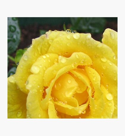 Raindrops on Rose Petals Photographic Print