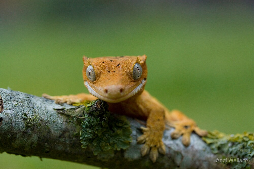 Young crested gecko by Angi Wallace