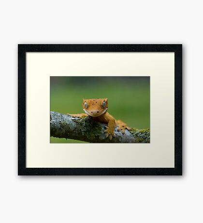 Young crested gecko Framed Print