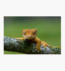 Young crested gecko Photographic Print
