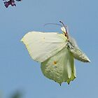 Brimstone butterfly by jesika