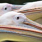 Pelicans by Mike Higgins
