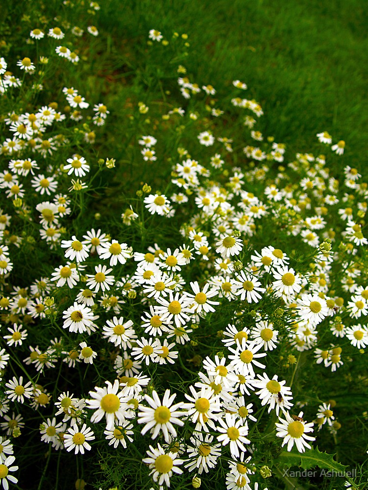 Oxeye Daisies by Xander Ashwell