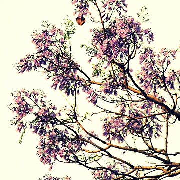 Jacaranda Flowers  by Evita