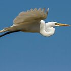 Great Egret 2014-4 by Thomas Young