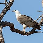 White Bellied Sea Eagle by mncphotography