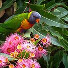 Lorikeet among the gum blossoms by Fran Woods