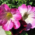 Pink and Crimson Petunias by Kathryn Jones