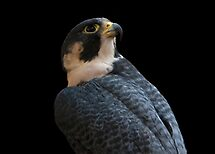 Peregrine by Martin Smart