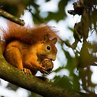 Red Squirrel getting some nuts by ensell