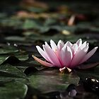 Pink lotus in a pond by ensell
