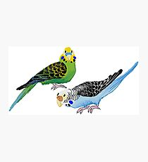 Two budgies Photographic Print