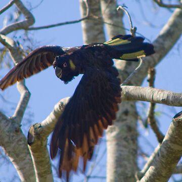 Black Cockatoo by daddypub