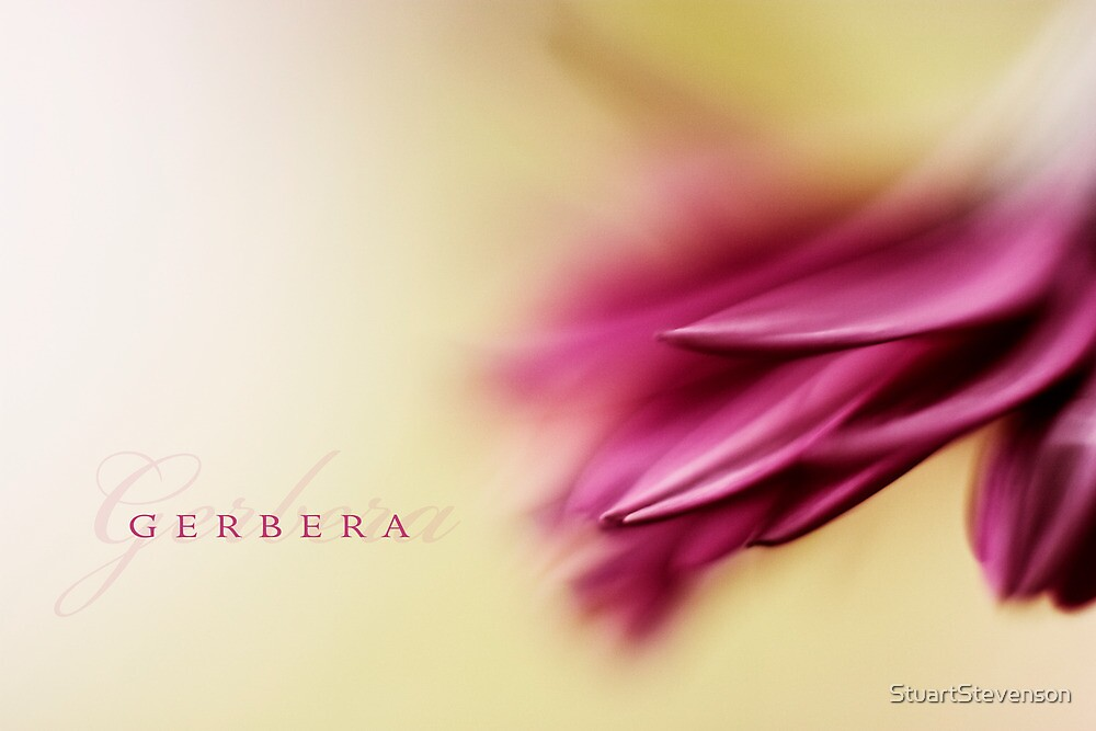 Gerbera by StuartStevenson