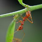 red ant by michelle meenawong