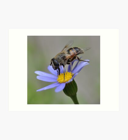 Syrphid Fly on Blue Marguerite Art Print