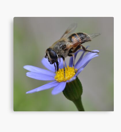 Syrphid Fly on Blue Marguerite Canvas Print