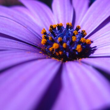 Purple Daisy by Annabananna