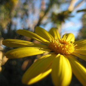 Yellow Sunlit Daisy by Annabananna