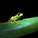 central bright-eyed frog by gruntpig