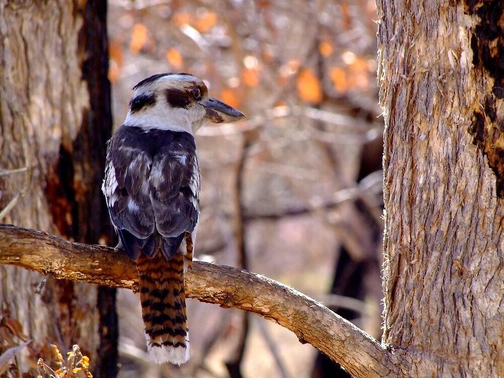 Kookaburra Dawn by Trevor Farrell