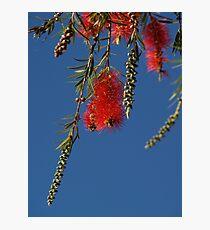 Bottle Brush - Outback - Australia Photographic Print