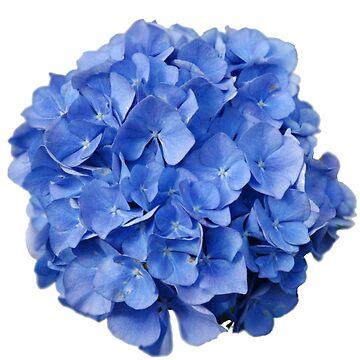 Blue hydrangea by ghjura