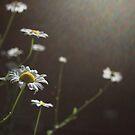 backlit flowers by Rachel Kelso