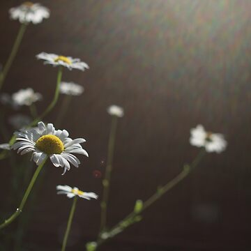 backlit flowers by rachelakelso