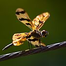 Banded Flutterer Dragonfly by Tony Steinberg