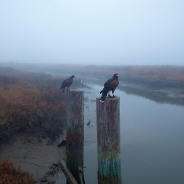 A Pair of Falconer's Harris's Hawks Hunting During a Falconry Hunt in the Wetlands of California  by manbird