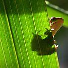 eastern sedgefrog by Matt Mawson