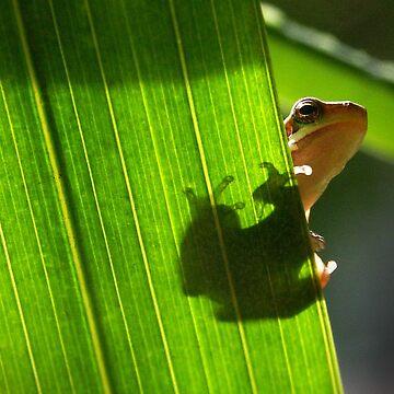 eastern sedgefrog by mmawson