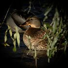 Female Mallard In The Spotlight by Len Bomba