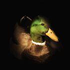 Mallrd Duck Portrait by RichardSayer