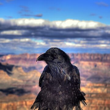 Canyon  Raven by DianaG