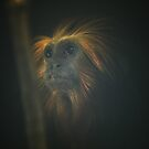 Tamarin Lion Portrait by RockyWalley