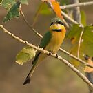 Little Bee-eater, Botswana by Neville Jones