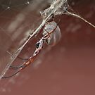 whyalla spider by dmaxwell
