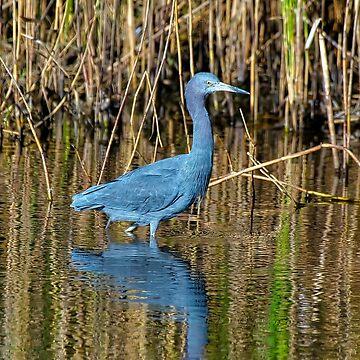 Little Blue Heron at HBSP by imagetj