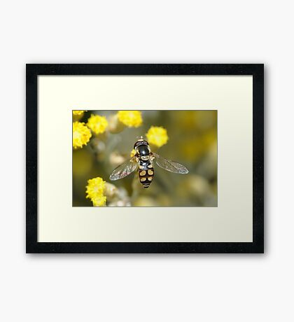 Hoverfly on curry bush flowers Framed Print