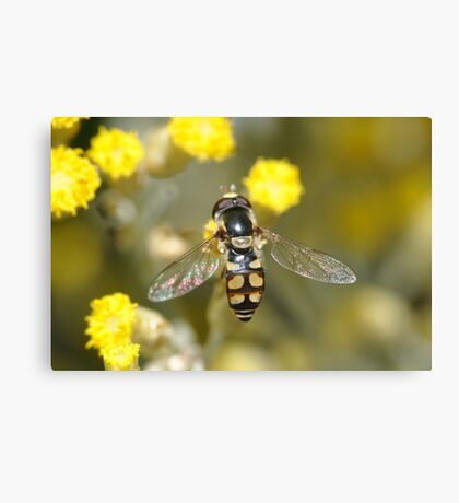 Hoverfly on curry bush flowers Canvas Print