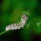 Black Swallowtail Caterpillar by Bill Morgenstern