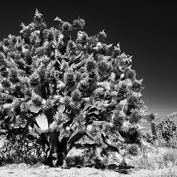 joshua tree - mojave by 27justins